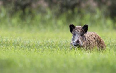 Wie gefährlich sind Wildschweine?
