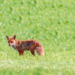 5 Fakten über den Fuchs, die du bestimmt noch nicht kennst