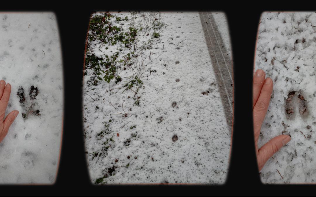 Spuren im Schnee – so erkennst du Trittsiegel von Fuchs, Wildschwein und Reh